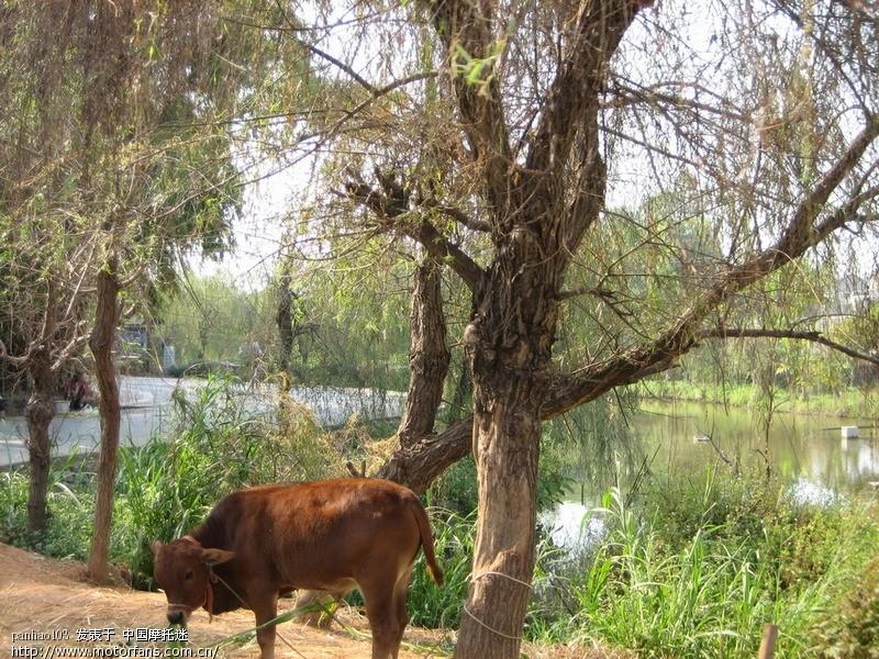 柳树和牛 国画