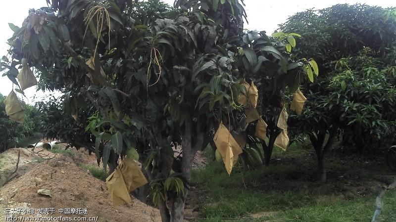 芒果为漆树科常绿乔木芒果树的果实,其成分中含有单(或二)羟