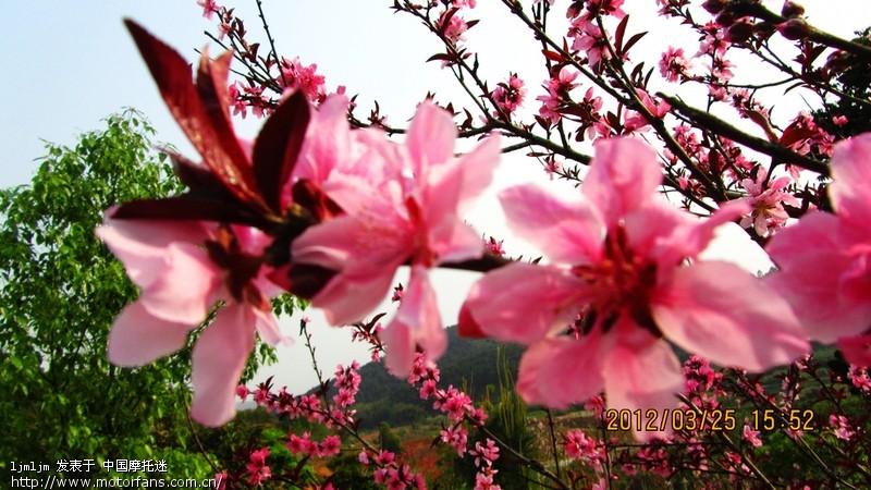白色的桃花和红色叶子的桃花还有樱花