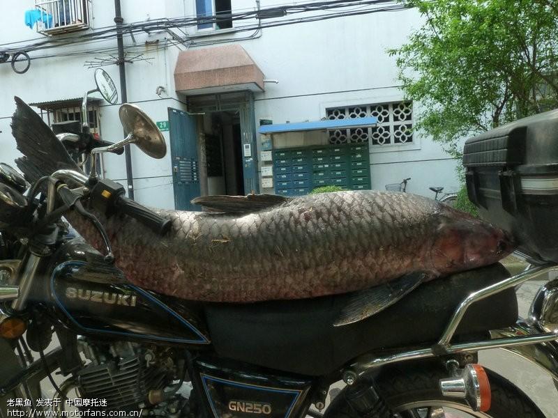 今天钓起47斤大视频-渔友乌青-摩托车论坛-之家里养鱼图片