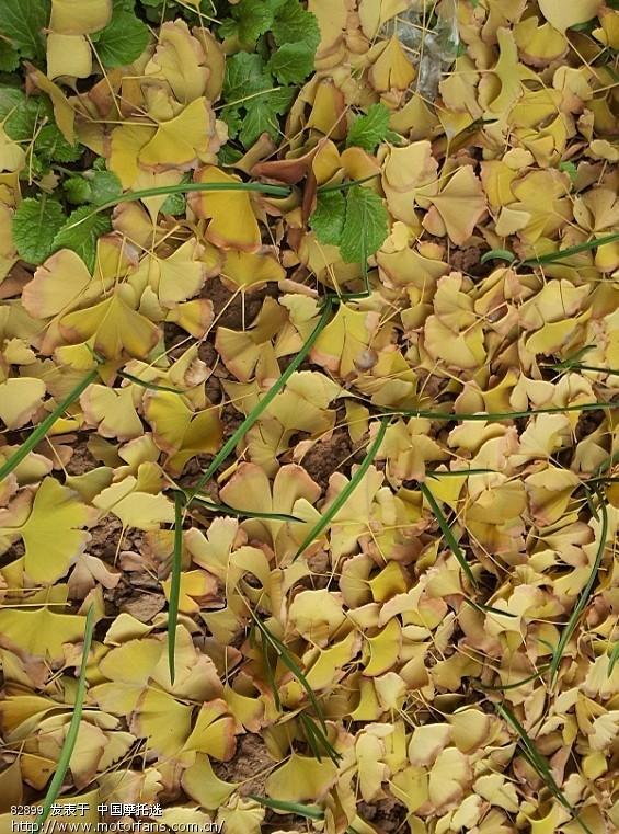 一场寒风,我家院子里的银杏树叶子也落了!