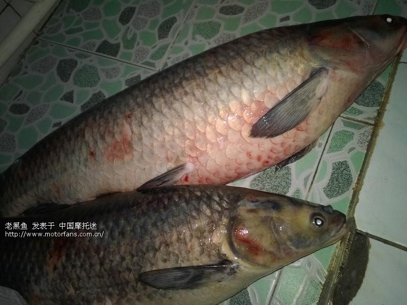 今天钓起47斤大论坛-渔友视频-摩托车之家-乌青李珂钧图片